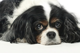 Close Up Portrait of a Pet Cavalier King Charles Spaniel