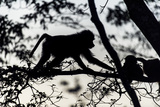 The Silhouette of an Olive Baboon Foraging on Leaves in a Tree at Dawn