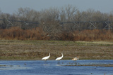 An Endangered Whooping Crane Family Wading Petroleum Products Stains their Bellies