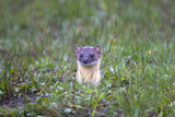 A Long-Tailed Weasel  Mustela Frenata  Peeking Up Above the Grass from a Burrow