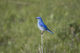 A Male Mountain Bluebird  Sialia Currucoides  Perched on a Twig Looking for Insect Prey