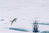 A Coyote Jumps High in the Air  to Pin a Mouse Located About a Foot Below the Snow Surface