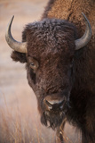 A Bison  Gaur Bos  on a Ranch Near Valentine  Nebraska