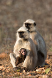Portrait of a Southern Plains Gray Langur Family  Semnopithecus Dussumieri