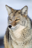 Close Up of a Coyote  Canis Latrans