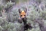 A Red Fox  Vulpes Vulpes  Stands Amidst Shrubs after Catching a Rodent