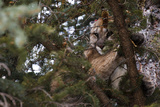 A Cougar  Treed by Hounds  to Be Tranquilized and Fitted with a Tracking Device