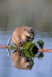 A Muskrat Devours Greens it Hauled Up from the Bottom of the Pond