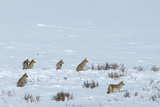 Six Adult Coyotes Hunt Cooperatively in Winter Near the Lamar River