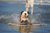 An English Bulldog Shows Off its Skills on a Skimboard