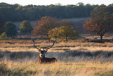 A Red Deer Stag Resting During the Autumn Rut in Richmond Park