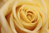 Close Up of a Pale Yellow Rose
