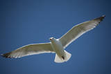 A Herring Gull Flies over Gull Island  a Manmade Dredge Spoil Island in the Barnegat Inlet
