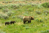 A Grizzly Bear Mother Followed by Her Two Cubs