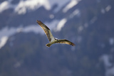 An Osprey  Pandion Haliaetus  Soaring Above Trout Lake in Yellowstone National Park
