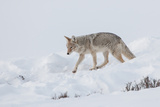 A Coyote Walks across a Snowy Landscape