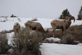 Bighorn Sheep Graze in a Snowy Field in Teton National Park
