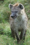 Close Up Portrait of a Spotted Hyena  Crocuta Crocuta  Snarling