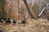 A Wild Turkey  Meleagris Gallopavo  and His Harem of Hens Foraging on a Wooded Game Trail