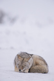 A Coyote  Canis Latrans  Sleeping in Snow