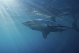 Portrait of a Male Great White Shark  Carcharodon Carcharias  Swimming in Rays of Sunlight