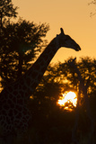 The Silhouette of Giraffe and Trees at Sunset