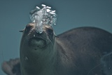 A California Sealion  Zalophus Californianus  Blows Bubbles as it Swims in an Aquarium Tank