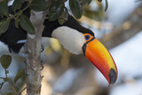 Portrait of a Toco Toucan  Ramphastos Toco  Perched in a Tree