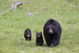 A Black Bear Sow  Ursus Americanus  and Her Cubs Walking in a Grassy Meadow