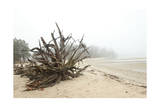 The Root Ball of a Fallen and Weathered Old Tree on a Foggy Beach