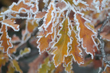 Close Up of Frost on the Edges of Downy or Pubescent Oak Leaves  Quercus Pubescens
