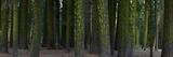 A Dense Redwood Forest