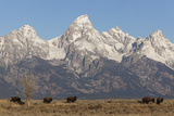 A Herd of Bison Graze in Grand Teton National Park