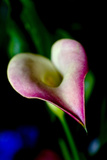 Close Up of a Pink Heart-Shaped Calla Lily at a Flower Show