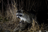 Night Time Portrait of a Raccoon  Procyon Lotor  with Eye Shine