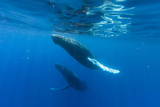 Two Endangered Humpback Whales  Megaptera Novaeangliae  Swimming Near the Water's Surface