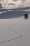 A Lone Lodgepole Pine Tree and Coyote Tracks in Fresh Snow