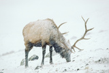 A Bull Elk Forages in a Snow Storm