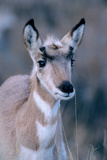 Portrait of a Seven Month Old Pronghorn Antelope