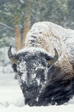 A Bison Forages During a Snow Storm