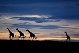 A Small Herd of Giraffe on the Serengeti Plains