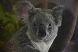 Portrait of a Koala at the Miami Metro Zoo