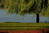 Branches from a Weeping Willow Tree Blow Gently in the Wind Next to Perfectly Groomed Hedges