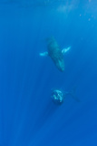 Two Endangered Humpback Whales  Megaptera Novaeangliae  Swimming in Rays of Sunlight