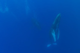 A Pair of Endangered Humpback Whales  Megaptera Novaeangliae  Swimming in an Underwater Dance