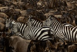 Mixed Herds of Burchell's Zebra and Wildebeest on the Move in the Plains of the Serengeti