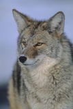 Portrait of an Alert Coyote