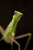 Close Up Portrait of a Praying Mantis