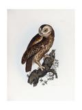 Tawny Owl  1841