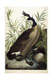 Canada Goose  C1827-1838